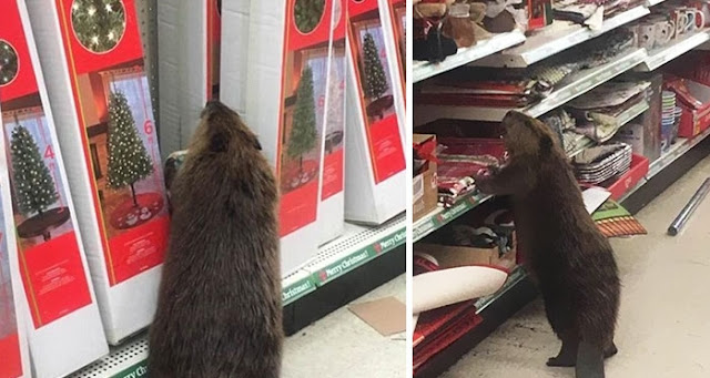 Wild Beaver Spotted In Supermarket Looking For A Christmas Tree