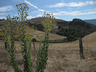 Dry hills with tall flowering stalks in the foreground, San Juan Grade, San Juan Bautista, California