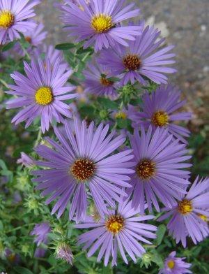 As flores possuem pétalas roxas, cor-de-rosa, branca, vermelha e outras, o centro é amarelo e saliente, muito parecidas com margaridas.