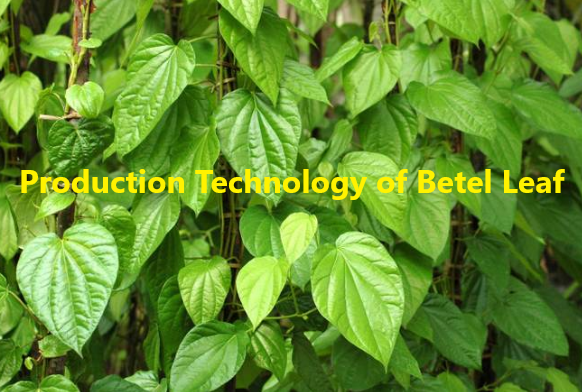 How to Grow Betel Leaf