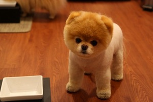 50 Awesome Pictures of World's Best Dog Boo