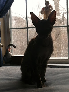 Kely the Cornish Rex in silhouette