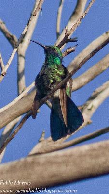 colibri grande