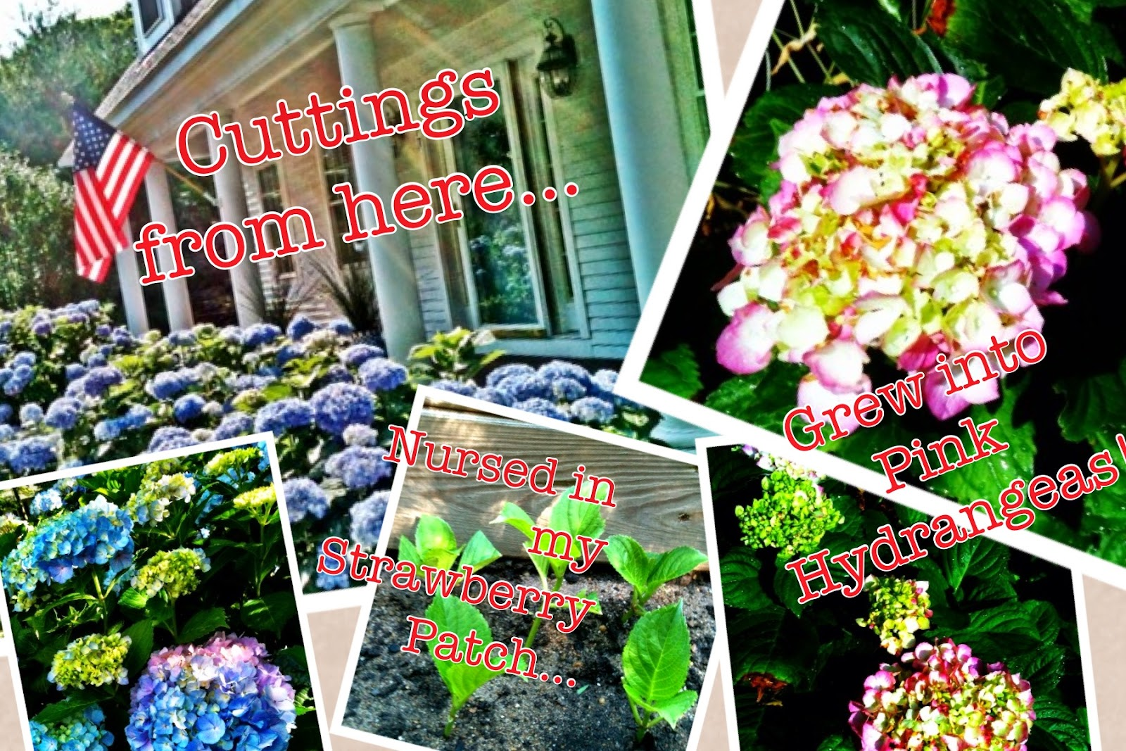 How to Grow Hydrangeas | LaBelle's General Store