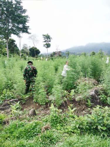 10 Jam Mencari Ladang Ganja di Ujung Ladang, ini yang di temukan polisi.