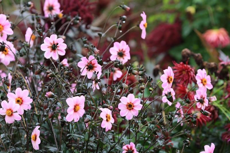 Flores color rosa de dalias (Dahlia) en Jardin Claude Monet en Giverny en otoño
