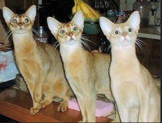 Mengenal Kucing Abyssinian