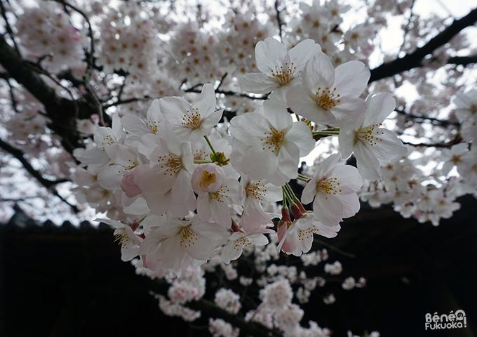 聖福寺の桜、福岡
