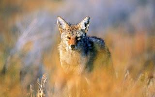 Coyote,  Animale di Potere e Totem