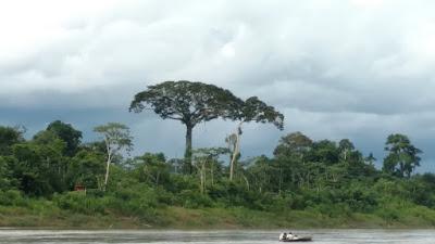 stunningly beautiful tree on the Tombopato River