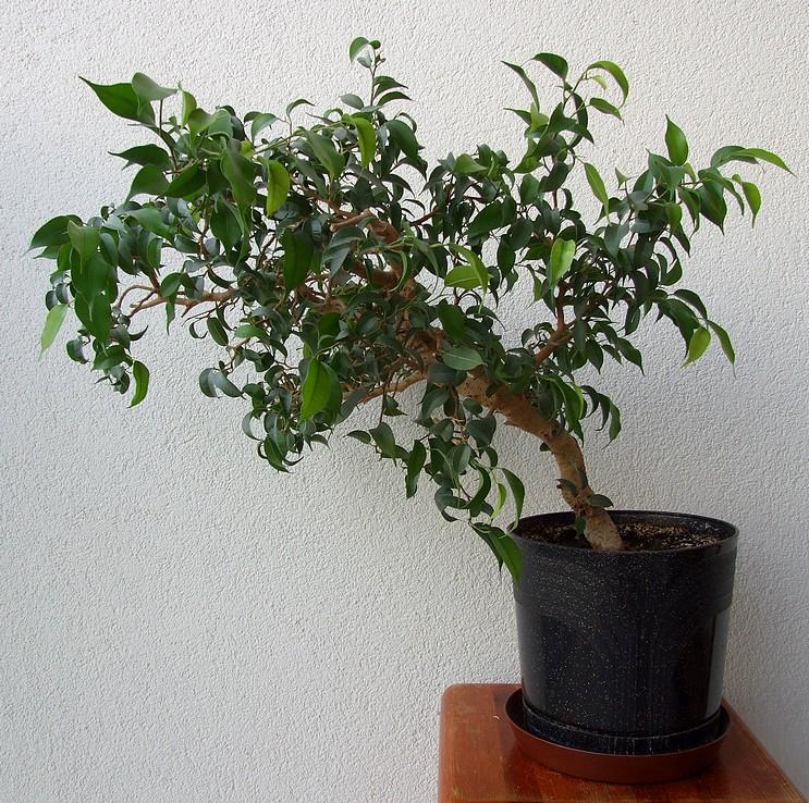 formowanie bonsai
