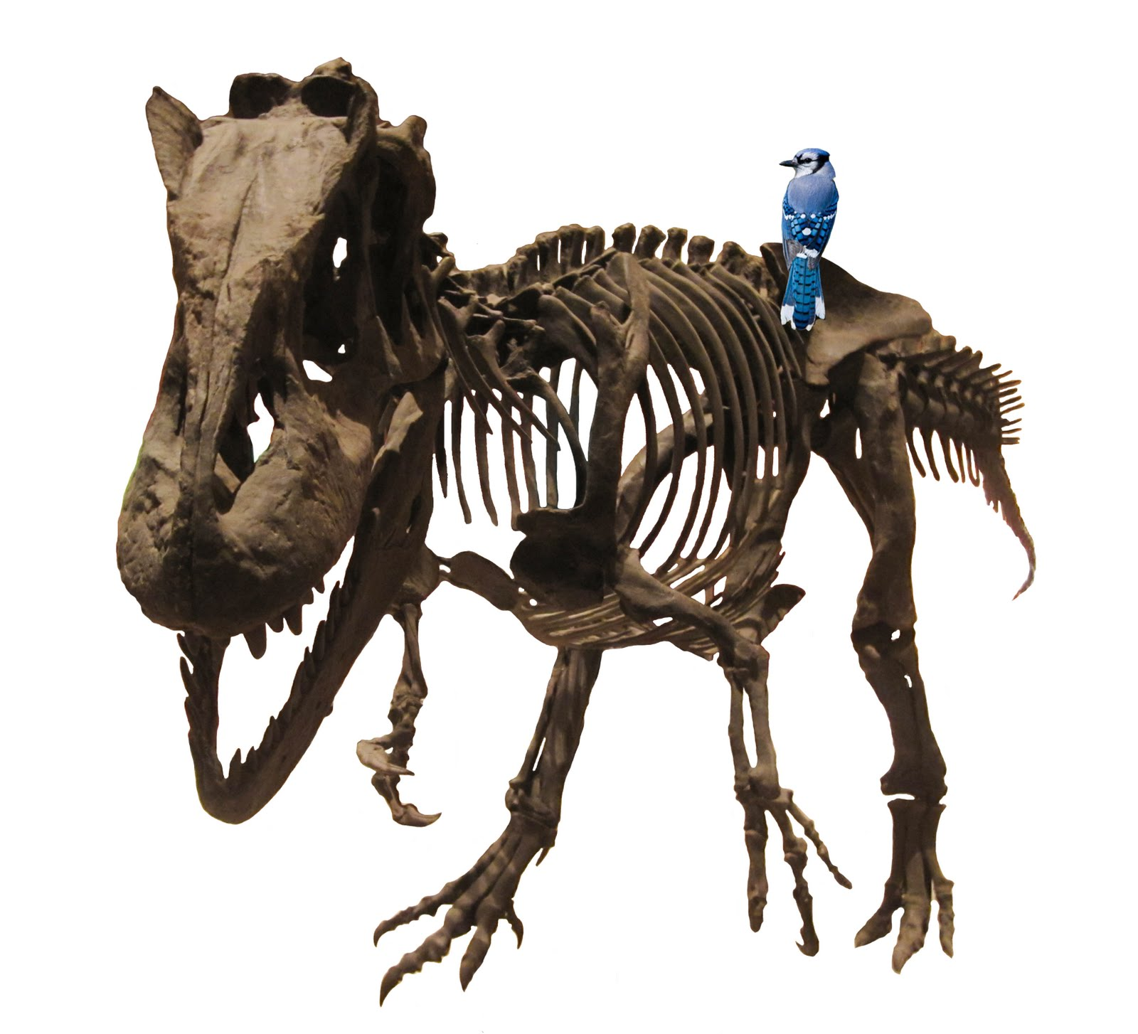 what is the evolutionary relationship between birds and dinosaurs