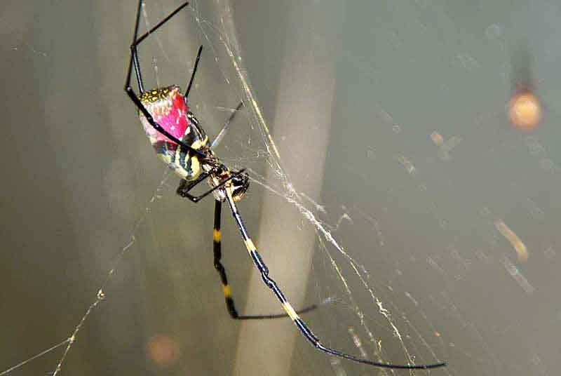 black, red and yellow spider in web