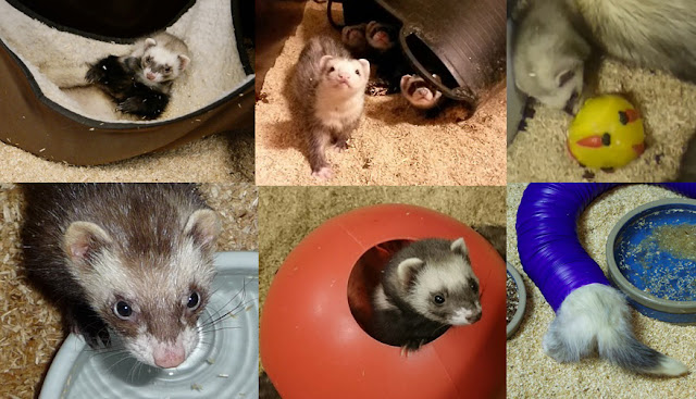 Enrichment for ferrets. Study shows how hard ferrets will work for different types of enrichment (pictured)