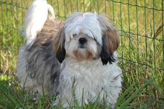 Jenis Anjing Shih Tzu