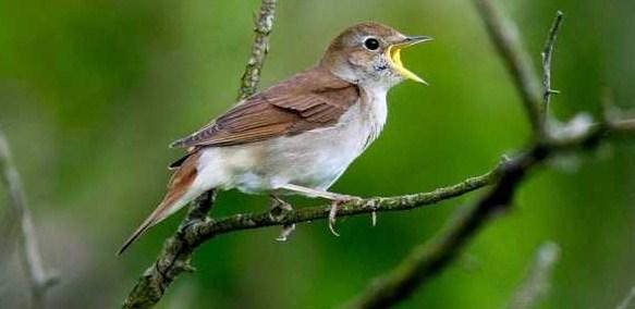 7 Ciri Ciri Burung Sikatan Londo Paling Akurat Dari Segi Fisik Dan Suara Kicau Mania