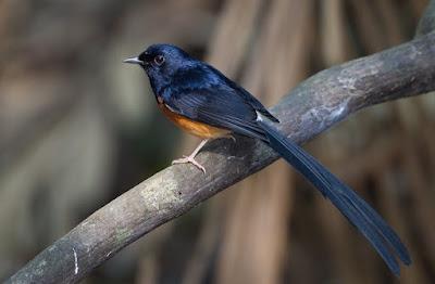 Jenis Makanan Ef Penurun Birahi Burung Murai Batu Yang Sudah Terbukti Manjur