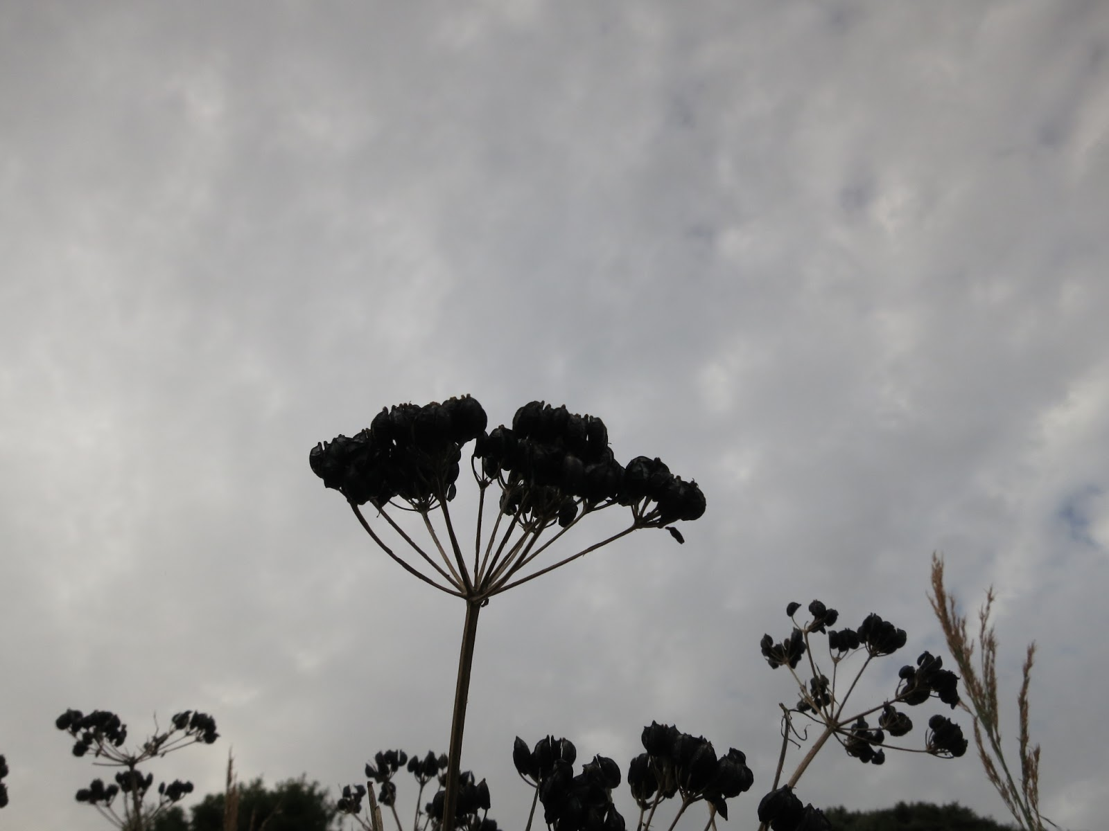 (Alexanders ?) Seeds on its head against a grey sky.