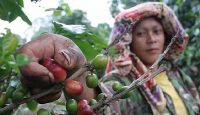 [Bukan Puisi] Kopi Ibu Indonesia