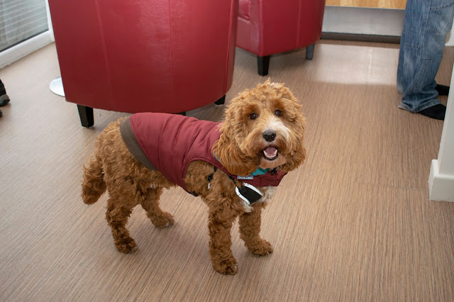 Red and white cockapoo puppy stood on wooden floor wearing burgundy coat
