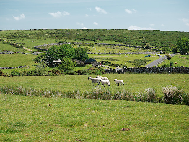 Dartmoor Schafe Stinmauer Tor Weide