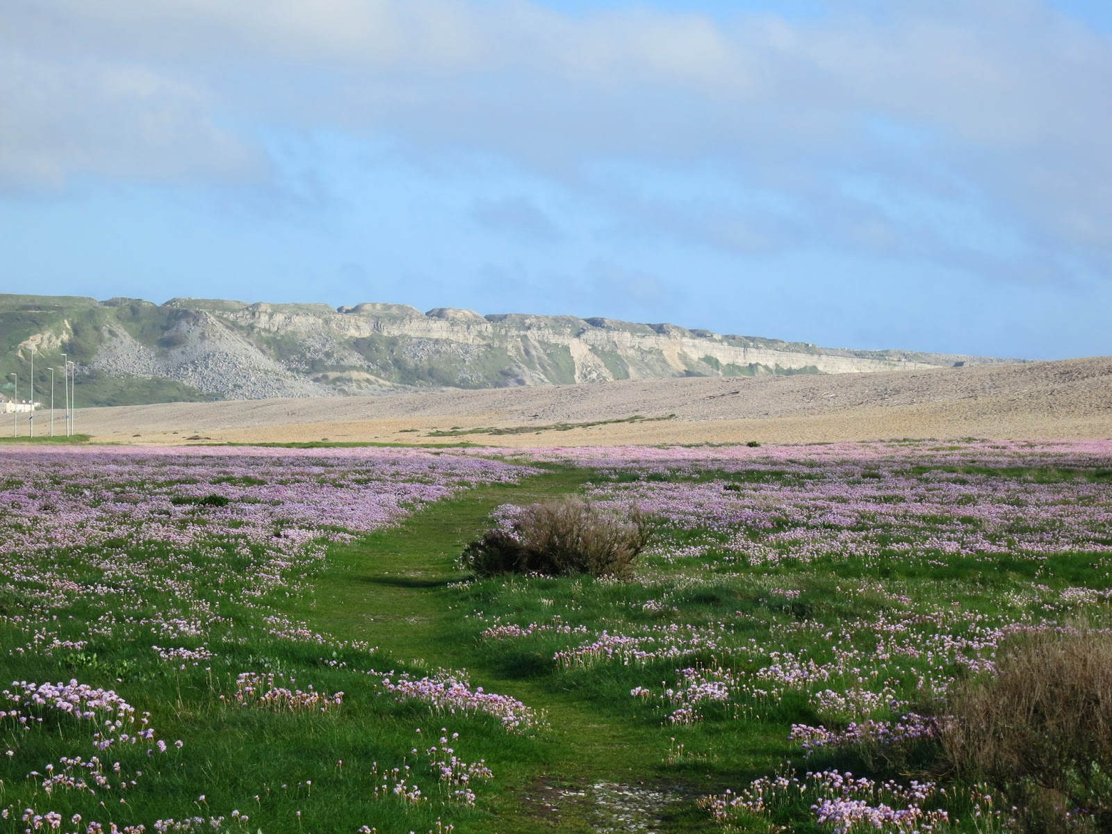 A landscape of Thrift running beside Chesil Beach with the cliffs of Portland beyond