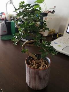 タイの盆栽