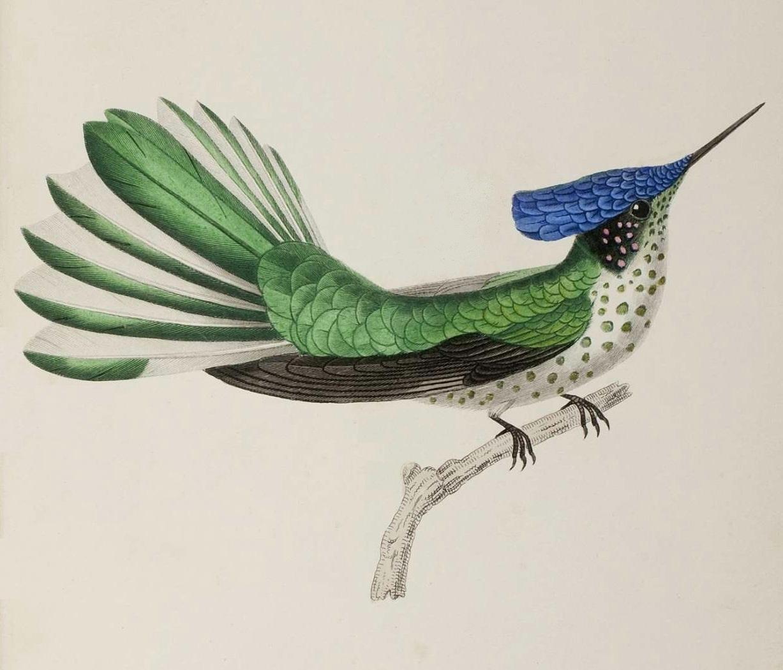 Vintage hummingbird illustration