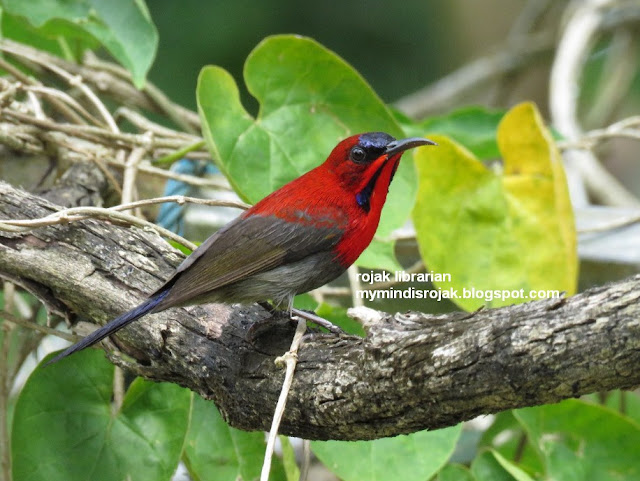 Crimson Sunbird in Ubin
