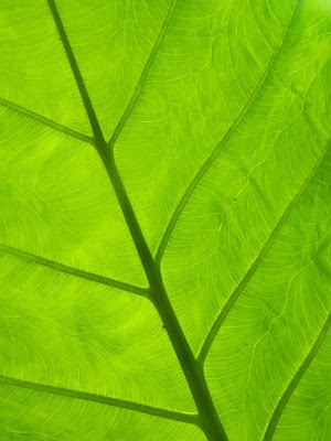 Philodendron leaf underside at Allan Gardens Conservatory by garden muses-not another Toronto gardening blog