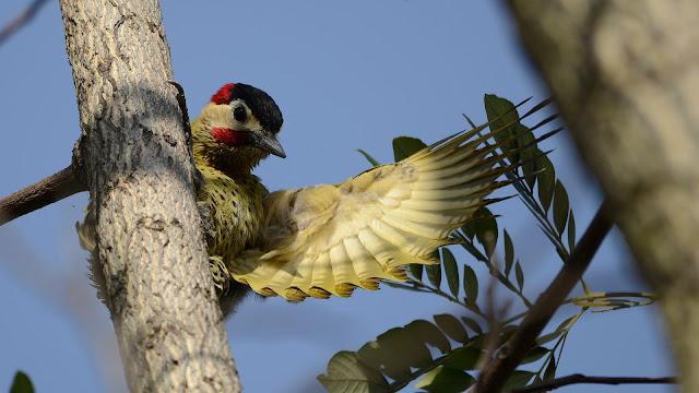 Green-barred Woodpecker male Colaptes melanochloros melanochloros Pica-pau-verde-barrado Carpintero Real