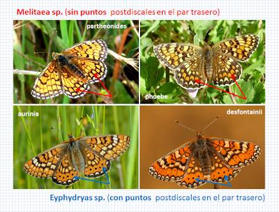 Melitaea y Euphydryas