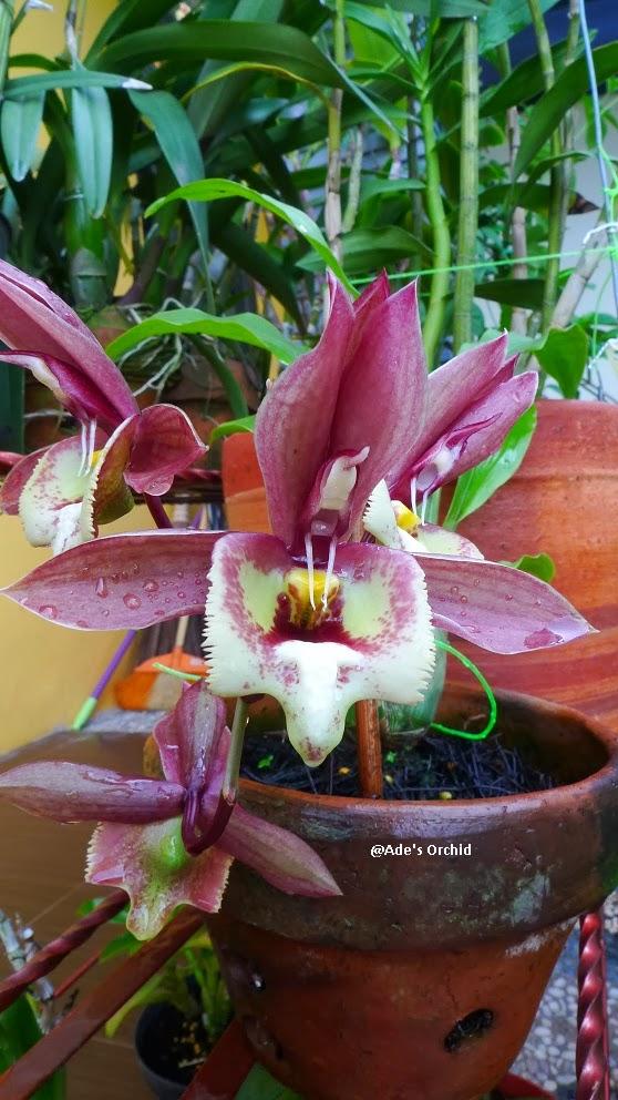 Anggrek Catasetum godean.web.id