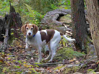a dog in the woods hunting small animals