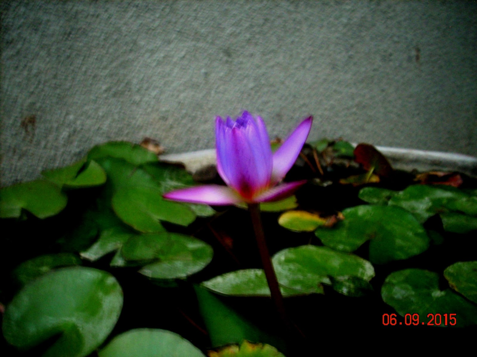Photos the petal of a violet lotus poems photographs and photos the petal of a violet lotus izmirmasajfo
