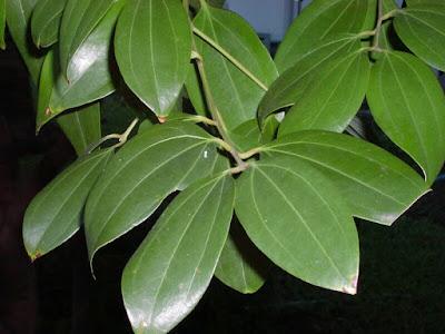 Cannella-foglie.