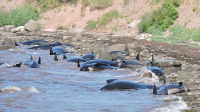 whales stranded at St George's Bay