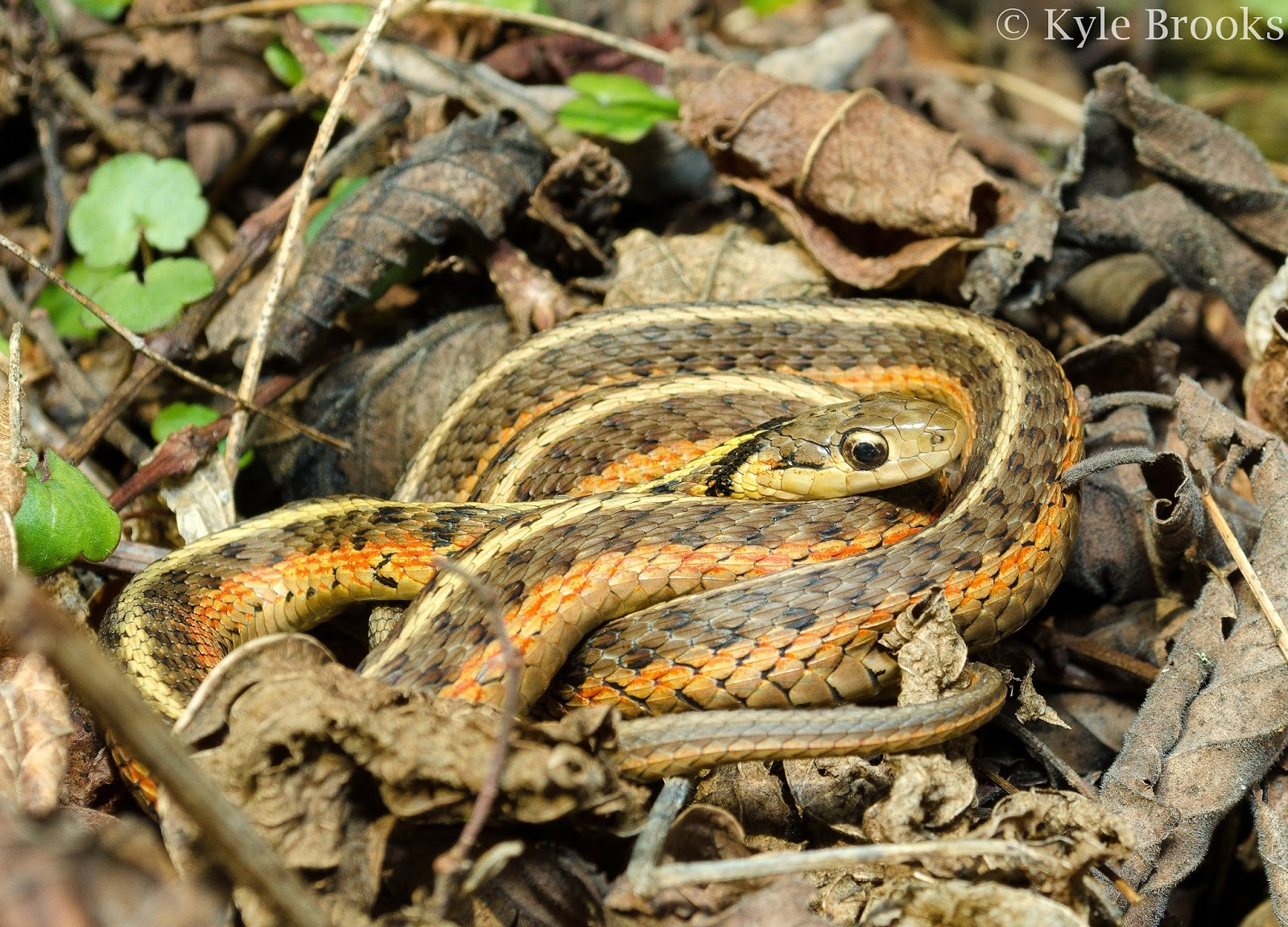 Common Gartersnake Ohio