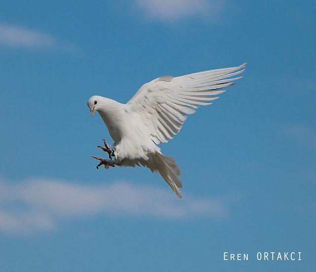 Özgür Beyaz Güvercin