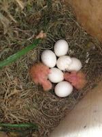 ip memaster anakan Lovebird [ Lovebird solusion ] Berbagai cara dilakukan untuk menghasilkan lovebird jawara, salah satu kegiatan yang sering dilakukan adalah memaster lovebird. yang paling bagus Pemasteran dilakukannya sejak lovebird masih anakan.