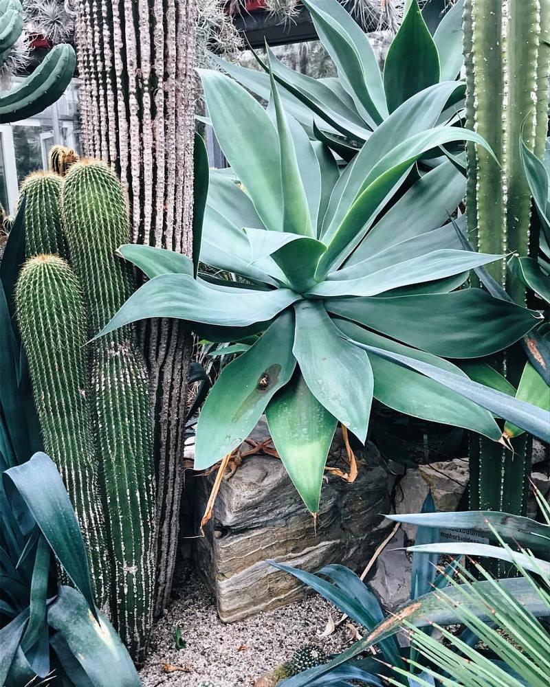 agave atenuata y cactus
