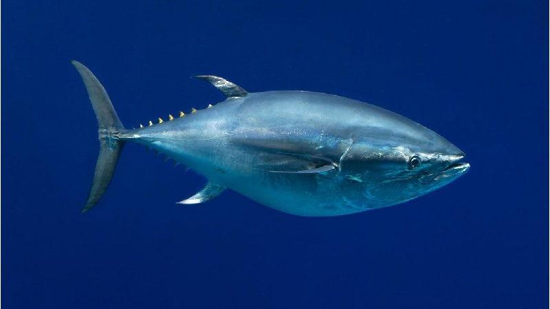 Gambar Jenis Ikan Tuna-Ikan Tuna sirip Biru Pasifik (Thunnus orientalis)