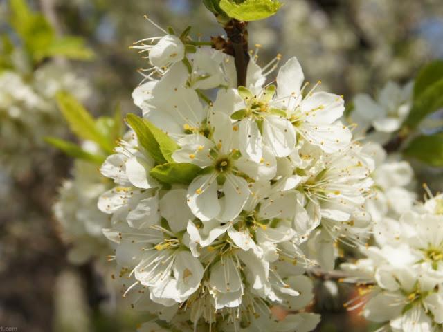 Fonds d'écrans de fleurs blanches