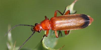 ωφέλιμα έντομα-Soldier beetle