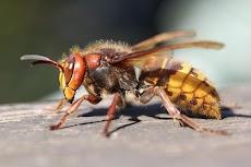 Cara Mengobati Sengatan Lebah dan Tawon