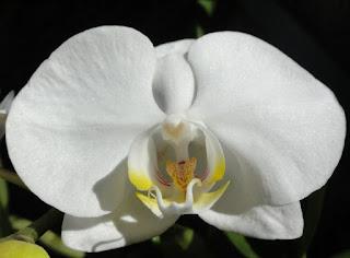 Phalaenopsis Celebensis Orchid