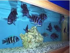 Ikan Hias Air Tawar Termahal kelompok ikan Oscar