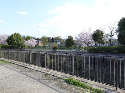 寝屋川公園  バスケットゴール(多目的広場)付近の桜