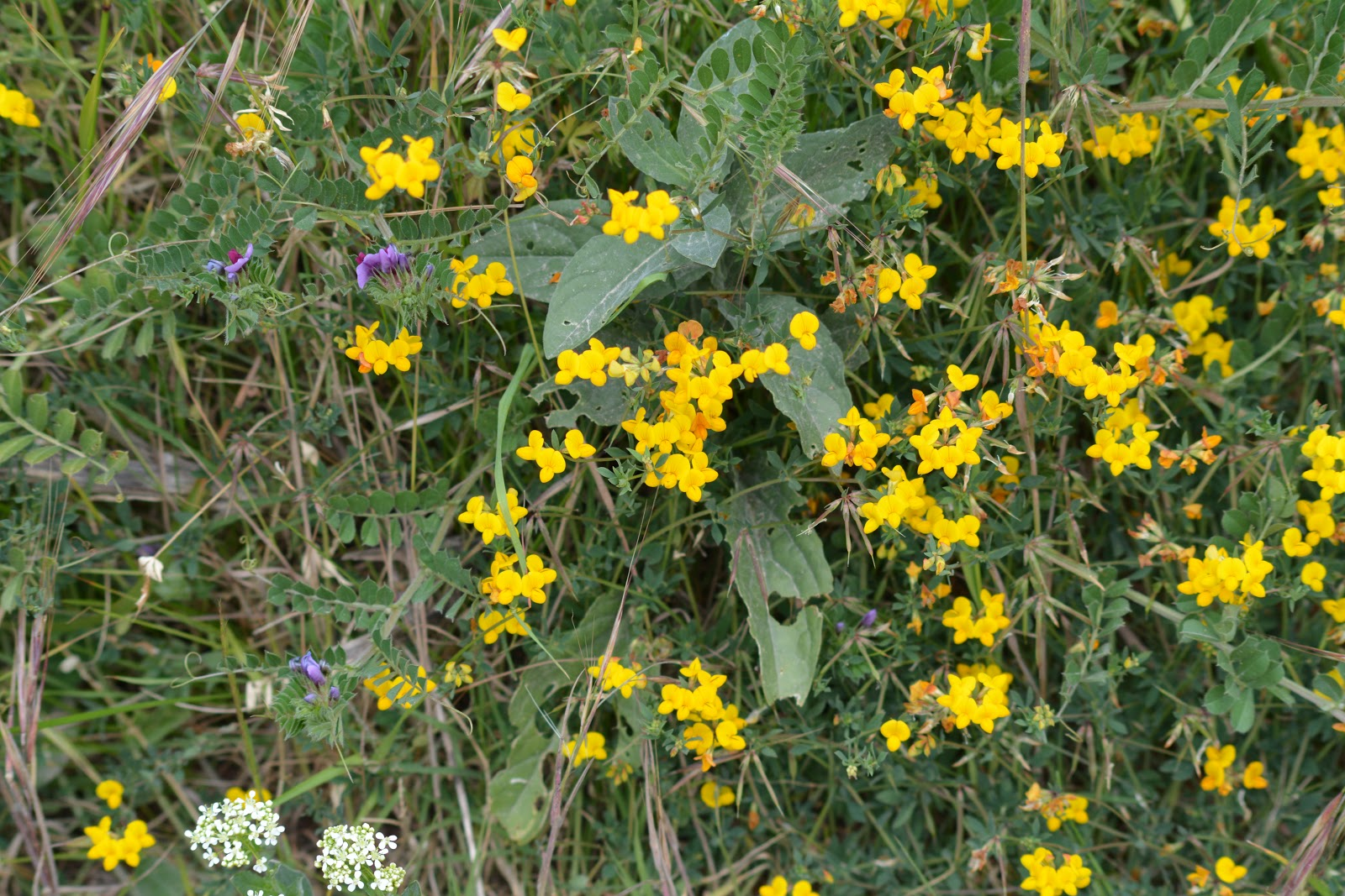 In Menorca Today Wild Flowers In May