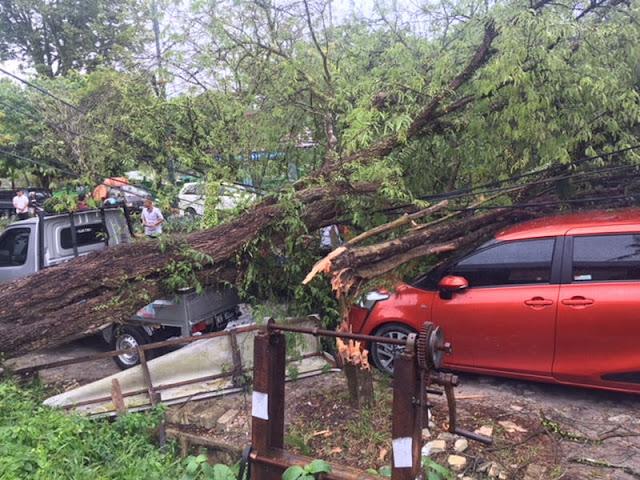 Pohon Tumbang Akibat Angin Kencang Timpa 2 Mobil di Pangkalan Bun
